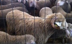 mouton_aid