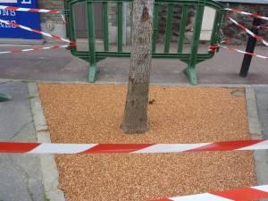 arbre_Anatole_France_Aulnay_2