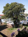 arbre_anatole_france_aulnay